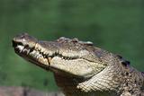 Saltwater Crocodile  Adelaide River