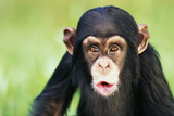 Young Chimpanzee Puckering