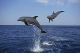 Bottlenosed Dolphins in Caribbean Sea
