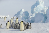 Emperor Penguins with Young