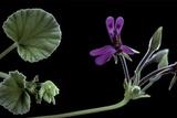 Pelargonium Reniforme (Kidney-Leaved Geranium)