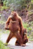 Orangutans on Path