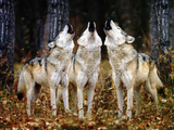 Loup hurlant Papier Photo par DLILLC