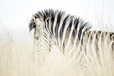 Zebra Walking in Tall Grass