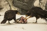 Striated Caracara Eating Carrion