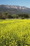 Yellow Mustard and Topa Topa Mountains in Spring  Upper Ojai  California  Usa  04262014
