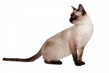 Siamese Thai Cat