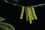Araschnia Levana (Map Butterfly) - Eggs  One on Top of the Other  under Stinging Nettle Leaf