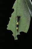 Morpho Peleides (Blue Morpho) - Young Caterpillar