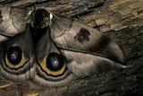 Automeris Harrisorum (Moth) - Wings Detail