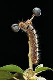 Lasiocampa Quercus (Oak Eggar  Oak Moth) - Caterpillar