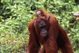 Baby Orangutan Riding Piggyback