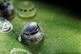 Morpho Peleides (Blue Morpho) - Caterpillar Hatching out of Egg