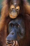 Female and Baby Orangutan in Borneo