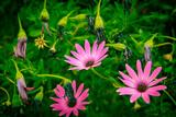 Daisy Flowers  Osteospermum