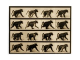 Image Sequence of a Baboon Running  'Animal Locomotion' Series  C1887