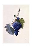 Grapes  C1747