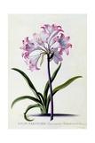 Lilio Narcissus  C1744