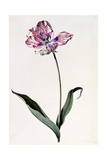Tulip  C1745