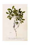 Bayberry or Myrtle  C1746