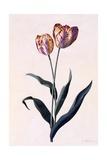 Tulip  C1744