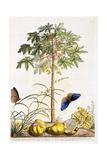 Papaya  C1748