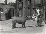 An African Rhinoceros  Kathlene  and Keeper Harry Warryck at Zsl London Zoo  September 1928