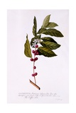 The Coffee Tree  C1743