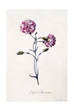 Difor Amourius  Carnation  C1745