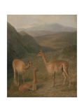 Vicunas  1831