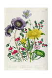 Calandrinia  Plate 18 from 'The Ladies' Flower Garden'  Published 1842
