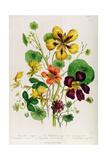 Nasturtium  Plate 21 from 'The Ladies' Flower Garden'  Published 1842