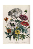 Poppies  Plate 4 from 'The Ladies' Flower Garden'  Published 1842