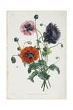 Study of Three Types of Poppies  1805
