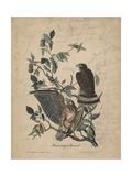 Broad-Winged Buzzard  1840