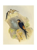 Rufous-Bellied Swallow (Hirundo Daurica) (1804-1881)  United Kingdom  19th Century