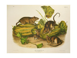 Brown  or Norway Rat  Engraved by John T Bowen (1801-C56) Published 1845