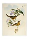 Tawny-Bellied Babbler (Dumetia Hyperythra)