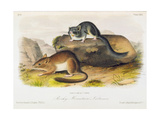 Rocky Mountain Neotoma  Plate 29 from 'Quadrupeds of North America'  Engraved by R Trembly