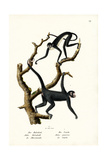 Long-Haired Spider Monkey  1824