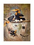 Concave Casque Hornbill  1861