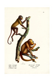Red Howler Monkeys  1824