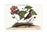 The Mock-Bird  1749-73