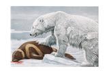 Ribbon Seal  Victim to a Polar Bear