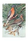 Pair of Passenger Pigeons  1906