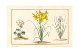 Annemone  Hemerocale and Iris (Detail) (Graphite  W/C and Bodycolour on Vellum)