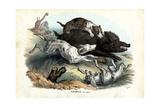 Wild Boar  1863-79