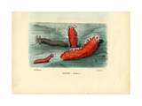 Sea Cucumber  1863-79