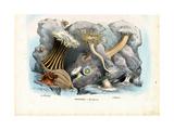 Sea Anemones  1863-79