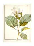 Magnolia Yulan  Magnolia Denudata  1812 (W/C and Bodycolour over Traces of Graphite on Vellum)